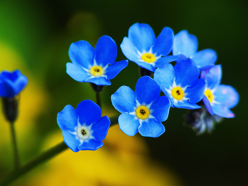 Forget-Me-Not-flower-blue